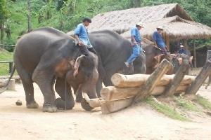 Learning about Thai culture and traditions Elephants at work